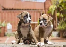 Título do anúncio: -Boxer lindos filhotes raça pura
