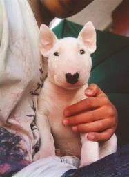 Título do anúncio: Bull Terrier Machos e Femeas