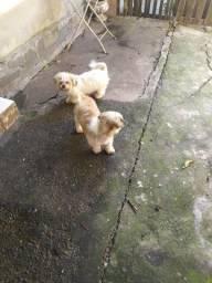 Vendo filhotes de Lhasa Apso