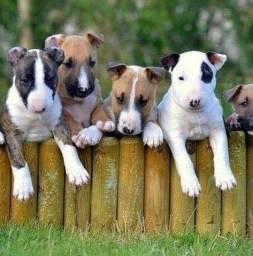Título do anúncio: Filhotes de Bull Terrier Perfeitinhos