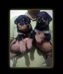 Título do anúncio: Casal de Rottweiler