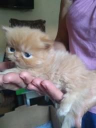 3 filhotes de gatos persa