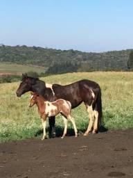 Vendo potro Paint Horse PO