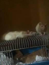 Ratos twistter