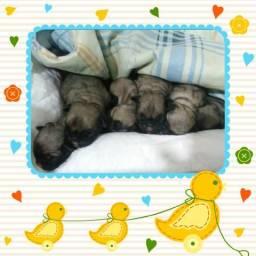 Disponíveis para reserva. Vendo lindos e saudáveis filhotes de pugs com cbkc