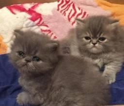 Lindinhos e fofos filhotes de gatos persas legítimos.Entrego em Curitiba e região próxima