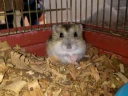 Vendo hamster sírio e Anao russo