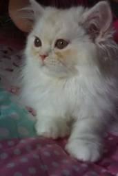 Linda filhote de gata persa pura femea.Parcelo nos cartões.Entrego em Curitiba e região