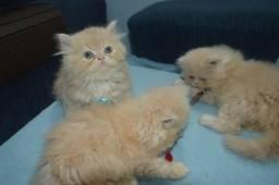 Gracinhas de filhotes de persa