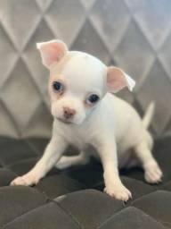 Chihuahua os mais lindos filhotes com garantia Whats *