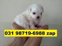 Canil Lindos Filhotes Cães BH Maltês Lhasa Poodle Yorkshire Shihtzu Beagle