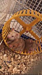 Vendo hamster ?