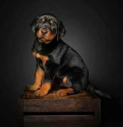 Título do anúncio: Filhotes Lindos de Rottweiler