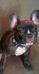 Título do anúncio: Fêmea de Bulldog francês