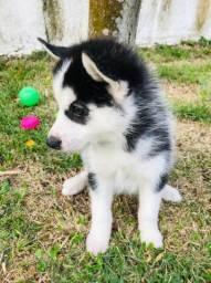 Título do anúncio: Filhotes de Husky padrão CBKC disponíveis a pronta entrega