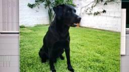 Labrador perdido nas proximidades de serraria São José