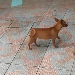 Pinscher por motivo de viagem por 290 reais com 3 anos idade um amor de cadelinha