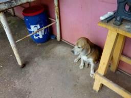 Vende -se casal de Beagle com pedigree