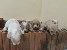 Vendo cachorro da raça poodle