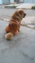Chow Chow 2 anos Muito lindo e docil
