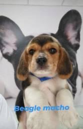 Beagle macho bb com 50 dias ja vacinado