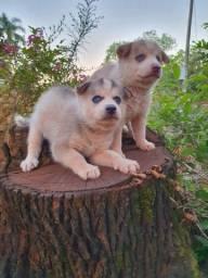 filhoteas de Husky