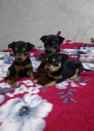 Título do anúncio: Pinscher Filhotes lindos - Da Madre Pet Shop!