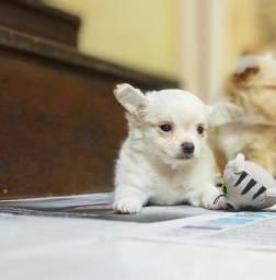Chihuahua macho 50 días . Vai se apaixonar com tanta fofura.