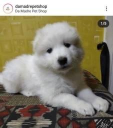 Título do anúncio: Samoieda Filhotes lindos - Da Madre Pet Shop!