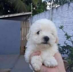 Título do anúncio: Apenas fêmea poodle toy 24cm