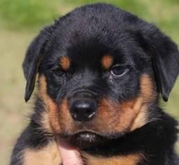 Título do anúncio: Rottweiler Filhotes lindos - Da Madre Pet Shop!