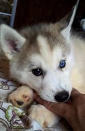 Título do anúncio: Lindas filhotes de Husky siberiano com pedigree