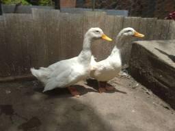 Título do anúncio: Vendo patos e marecos de pequim zap pra negócio *  *