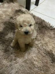 Título do anúncio: Maravilhosos filhotinhos de poodle micro toy a entrega hoje