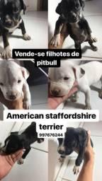 Filhotes de pitbull: American staffordshire terrier