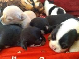 Filhotes de chihuahua micro com Pedigree CBKC