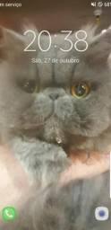 Venda gato persa azul top show