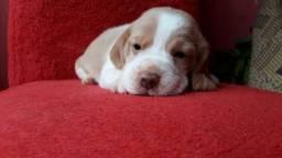 2 fêmeas Beagle com pedigree.