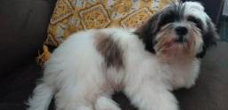 Lindo filhote lhasa
