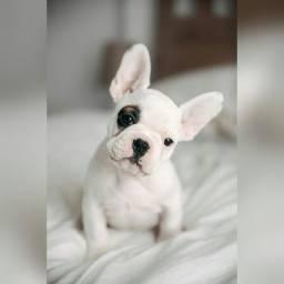 Bulldog francês filhotes com garantias de vida e saúde!