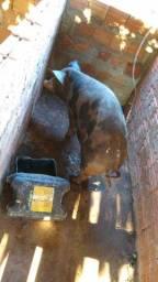Porco gordo