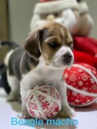 amáveis filhotes de beagle macho