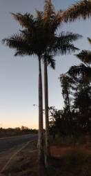 Vendo palmeiras