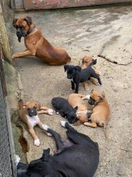 Lindos filhotes de Boxer