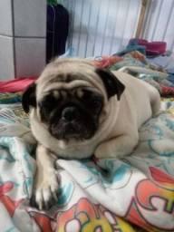 Vendo uma cadela gemia Pug tem três anos carinhosa docia