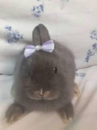 Título do anúncio: Filhotes de coelho anão netherland dwarf