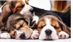 Lindas charmosas fêmeas de Beagle, já comendo ração seca!
