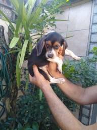 Título do anúncio: Linda cadelinha da raça Beagle