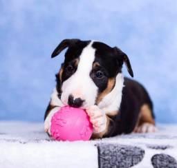 Título do anúncio: Filhotes fofos de Bull Terrier