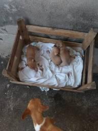 Vende _ se filhote de pinscher N° 1